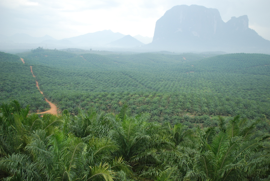 oil palm plantation in West Kalimantan, Indonesia