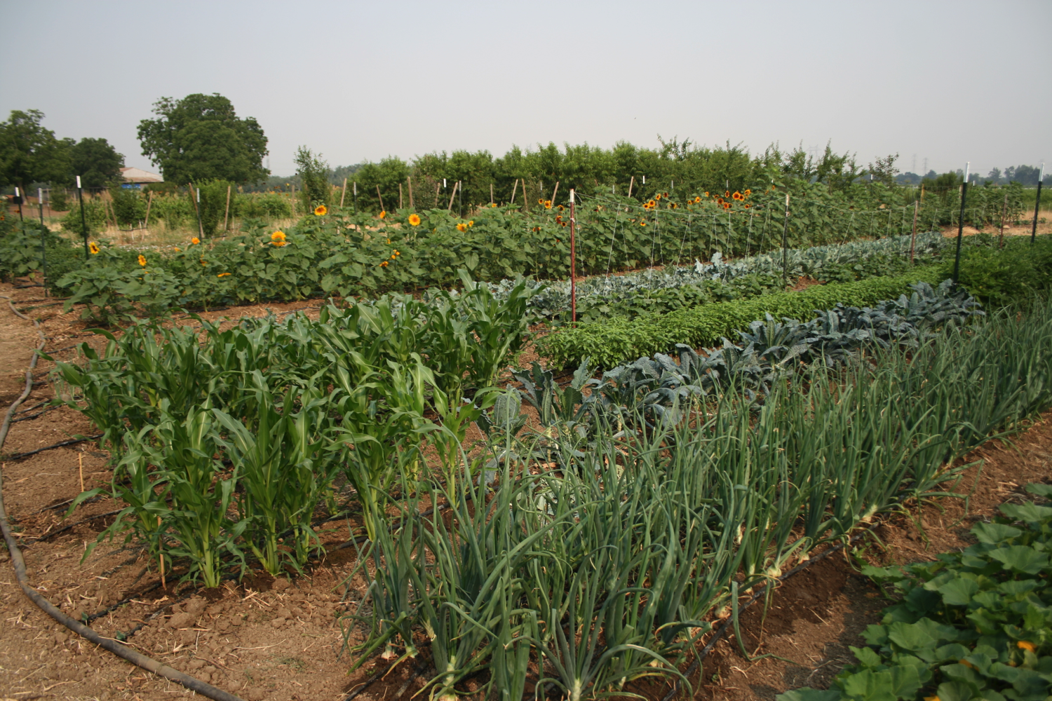The yields of organic farms, particularly those with multiple crops, compare well to those of chemically intensive agriculture. Photo by C. Kremen