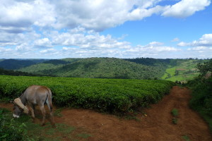 Looking out over tea fields to the Mau Forest